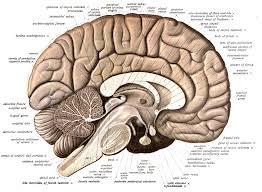 Brain Image: en.wikipedia.org